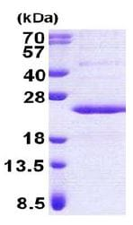 SDS-PAGE - PPP1R11 protein (His tag) (ab167857)