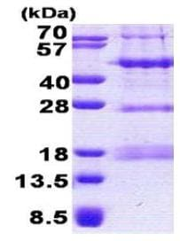 SDS-PAGE - PHF13 protein (His tag) (ab167864)