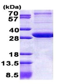 SDS-PAGE - PEX26 protein (His tag) (ab167869)