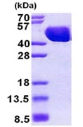 SDS-PAGE - MBP protein (His tag) (ab167888)