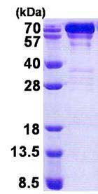 SDS-PAGE - GRP78 BiP protein (His tag) (ab167897)