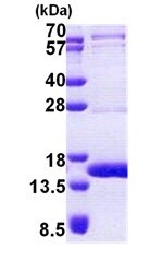 SDS-PAGE - TEN1 protein (His tag) (ab167900)
