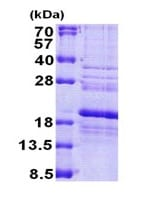 SDS-PAGE - RPS24 protein (His tag) (ab167909)