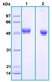 SDS-PAGE - LRG1 protein (Active) (ab167919)