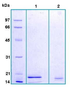 SDS-PAGE - GCDFP 15 protein (Human) (ab167926)