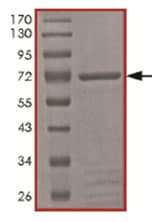 SDS-PAGE - PFTK1 protein (Tagged) (ab167928)