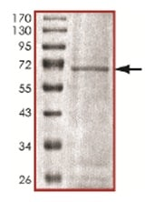 SDS-PAGE - HERC4 protein (Tagged) (ab167937)