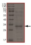 SDS-PAGE - UBE2Z protein (His tag) (ab167938)