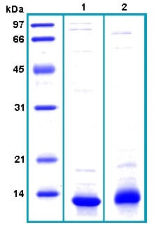SDS-PAGE - liver FABP protein (Human) (ab167939)
