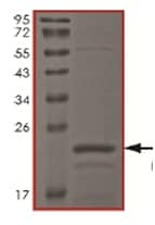 SDS-PAGE - Tau441 protein (Human) (ab167949)
