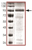 SDS-PAGE - RNF156 protein (Tagged) (ab167954)