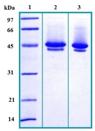 SDS-PAGE - Neuroserpin protein (His tag) (ab167956)