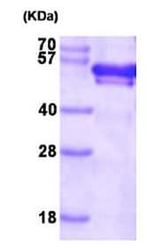 SDS-PAGE - FKBP52 protein (Active) (ab167973)
