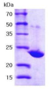 SDS-PAGE - Peroxiredoxin 1 protein (Active) (ab167989)