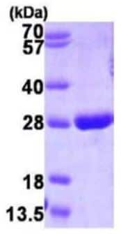 SDS-PAGE - Glutathione S Transferase pi protein (Active) (ab167990)