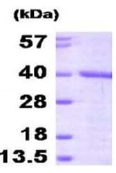 SDS-PAGE - FKBP6 protein (Active) (ab168000)