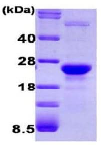 SDS-PAGE - GLO1 protein (Active) (ab168004)
