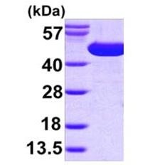 SDS-PAGE - surA protein (Active) (ab168021)