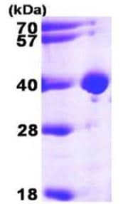 SDS-PAGE - Lactate Dehydrogenase B protein (Active) (ab168027)