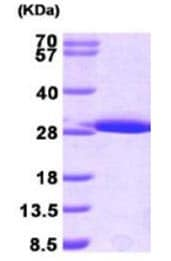 SDS-PAGE - Glutathione S Transferase mu protein (Active) (ab168035)