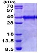 SDS-PAGE - Myozenin 1 protein (Tagged-His Tag) (ab168067)