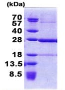 SDS-PAGE - C19orf50 protein (Tagged-His Tag) (ab168069)