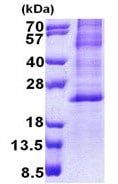 SDS-PAGE - HES2 protein (Tagged-His Tag) (ab168071)