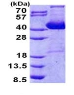 SDS-PAGE - IMPACT protein (Tagged-His Tag) (ab168072)