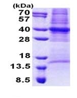 SDS-PAGE - COPS6 protein (Tagged-His Tag) (ab168076)