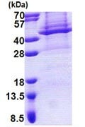 SDS-PAGE - Apolipoprotein L 4 protein (Tagged-His Tag) (ab168080)