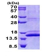 SDS-PAGE - CMC1 protein (His tag) (ab168083)