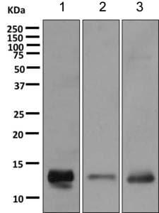 Western blot - Anti-DEFB112 antibody [EPR11395(B)] (ab168367)