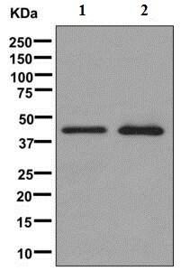 Western blot - Anti-MATH1/HATH1 antibody [EPR6419(2)] (ab168374)