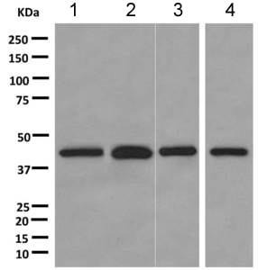 Western blot - Anti-PCBP1 antibody [EPR11055] (ab168378)