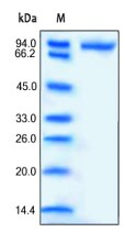 SDS-PAGE - CD14 protein (Fc Chimera Active) (ab168687)