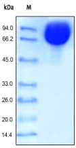 SDS-PAGE - ICAM1 protein (Fc Chimera Active) (ab168688)
