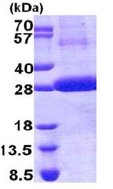 SDS-PAGE - Cathepsin F protein (His tag) (ab168713)