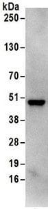 Immunoprecipitation - Anti-RRAGC antibody (ab168819)