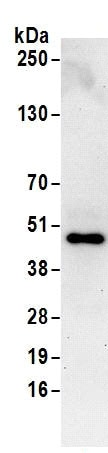 Immunoprecipitation - Anti-NUP43 antibody (ab168821)