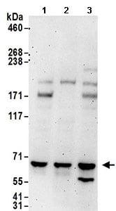 Western blot - Anti-Pericentrin 1 antibody (ab168839)