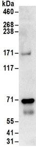 Immunoprecipitation - Anti-Pericentrin 1 antibody (ab168839)