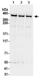 Western blot - Anti-DNA PKcs antibody (ab168854)