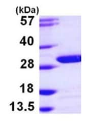 SDS-PAGE - UCHL3 protein (Active) (ab168869)