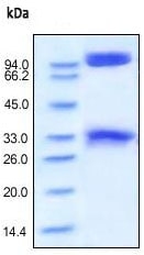 SDS-PAGE - BACE1 protein (Fc Chimera Active) (ab168902)
