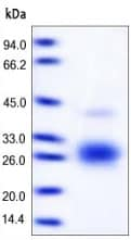 SDS-PAGE - Fas Ligand protein (Active) (ab168908)