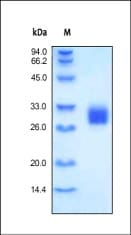 SDS-PAGE - Recombinant human FOLR2  protein (ab169056)