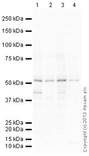 Western blot - Anti-SOX10 antibody (ab169353)