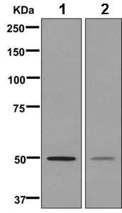 Western blot - Anti-SEPT10 antibody [EPR11141(B)] (ab169533)