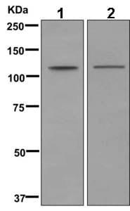 Western blot - Anti-MYO1F antibody [EPR11611] (ab169535)