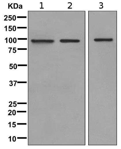 Western blot - Anti-MASTL antibody [EPR11719(B)] (ab169767)